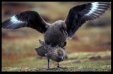 Falkland Skuas mating