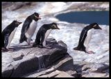 Rockhopper Penguins doing their best