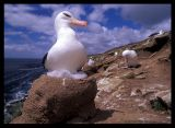 Black-browed Albatross nest on Saunders Island