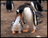 Hungry gentoo kid