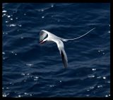Red-billed Tropicbird on Raso
