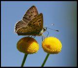 Heodes tityrus poda (Dansk Guldvinge) - Turkey 2002