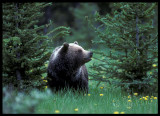 Grizzly - Canada 1990