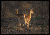Kob Antilopes