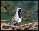 Namaqa Dove