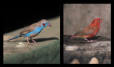 Red-cheeked Cordon-bleu and Redbreasted Finch