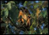 Western Red Colobus Monkey (Procolobus badius)