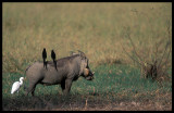 Time for a free ride - Warthog (Phacochoerus africanus)