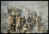 Goatwalking - a dusty phenomenon