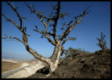 Boswellia trees in Dhofar Mountain - famous source of Frankincense