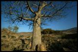 Baoba trees (Adansonia digitata) - Dhofar Mountains
