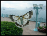 Butterfly looking for shelter inside - Bad weather in Hong Kong 2005