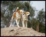 Every dog is happy to meet a birdwatcher in Kuwait