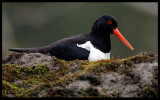 Rainy weather - Oystercatcher on nest in Åsnes