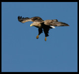 White-tailed Eagle going down