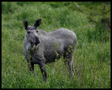 Young pale moose - Jössund Flatanger