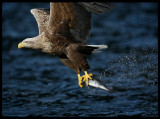 White-tailed Eagle - master fisherman