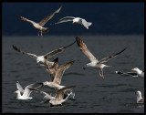 Gulls gathering around our boat