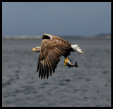 White-tailed Eagle catching fish 4