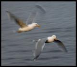 Herring Gulls