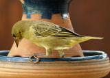 Bully Canary
