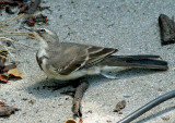 Wagtail Old One leg