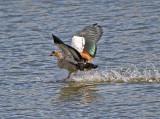 Eygptian Goose Landing 2