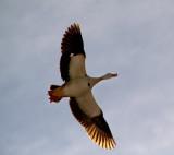Egyptian Goose Overhead