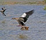Egyptian Goose Landing 3