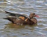 Spurwing goose