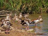 Geese Wading