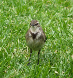 Cape Wagtail 2