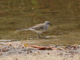 Cape Wagtail 3