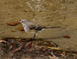 Cape Wagtail 4