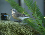 Cape Wagtail A