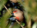 Common Waxbill 2