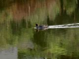 Yelllow Billed Duck