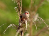 800Common waxbill1.jpg