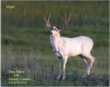 White Mule Deer Buck near Meeker, Colorado