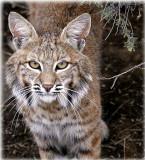 Bobcat portrait 06
