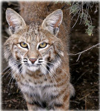 NW Colorado Bobcats and Mountain Lions