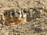 Badgers, Skunks, Weasels, Mink and Pine Marten of NW Colorado