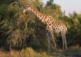 Giraffe Munching on Acacia Tree