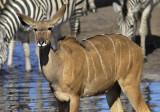Kudu and Friend