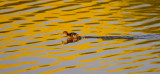 Duckling running on water