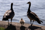 Goose family day out