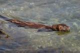 Mink swimming between islands