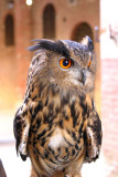 Eagle Owl... Sienna