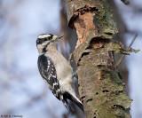 Busy woodpecker