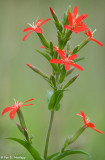 Red wildflowers